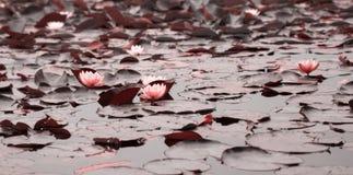 Water lillies. Beautiful pink water lillies closeup stock photography