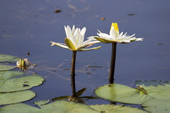 Water Lillies with Bee. White water lillies with bee polenating royalty free stock photo