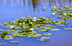 Water lillies in a blue pond in a calm serene scene Royalty Free Stock Photo