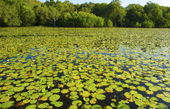 Water lillies cover Keating lagoon, cooktown, queensland, australia. Water lillies blanket Keating lagoon, cooktown, queensland, australia. crocodile waterhole royalty free stock photography