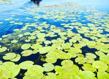 Water lillies. Danube Delta beautiful lilies Royalty Free Stock Images