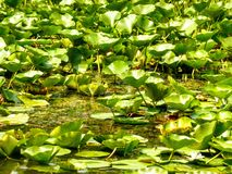 Water lillies. Danube Delta vegetation Stock Photo
