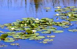 Water lillies in een blauwe vijver in een kalme rustige scène Royalty-vrije Stock Foto
