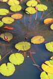 Water Lillies Extend Upward In A North Georgia Pond Stock Image