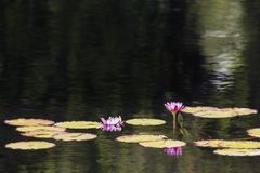 Water Lillies on Golden Ripples Royalty Free Stock Photography