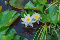 Water lillies and lake. Flowers and leaf. Nature and water. City Vecpiebalga, Latvia. Water lillies and lake. Flowers and leaf. Nature and water. Travel photo royalty free stock photo