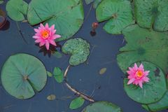 Water lillies and lake. Flowers and leaf. Nature and water. City Vecpiebalga, Latvia. Water lillies and lake. Flowers and leaf. Nature and water. Travel photo stock photography