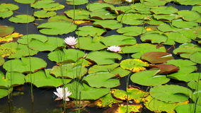 Water lillies in lake of Montreal, Canada Stock Images