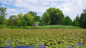 Water lillies in lake of Montreal, Canada. Beautiful Water lillies in lake of Montreal, Canada royalty free stock photography