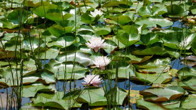 Water lillies in lake of Montreal, Canada. Beautiful Water lillies in lake of Montreal, Canada stock photo