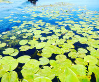 Water lillies. Leaves inevitable Danube Delta Royalty Free Stock Photo