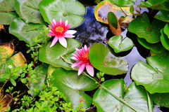 Water lillies in Mission Station park near Stone House in KeriKe Stock Photo