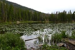 Water lillies in Nymph lake, Rocky Mountain National Park, Colorado,. USA royalty free stock images