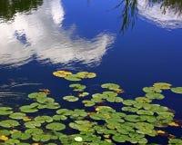Water lillies op Deer Creek in Forest Park Stock Afbeelding