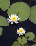 Water Lillies op een Vijver Stock Foto