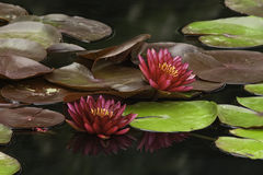 Water Lillies. Pair of water lillies with reflections Stock Photo