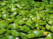 Water lillies Royalty Free Stock Photo