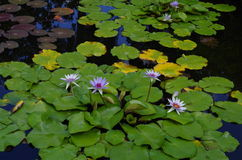 Water lillies on pond Stock Photos
