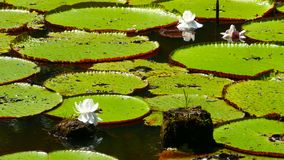 Water lillies in pond royalty free stock photography