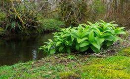 Water Lillies At Stream Edge Stock Photos