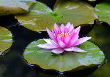 Water lillies and water reflections. Royalty Free Stock Photos