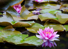 Water lillies and water reflections. Royalty Free Stock Images