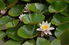 Water lillies Stock Images