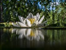 Water lilly Stock Afbeeldingen