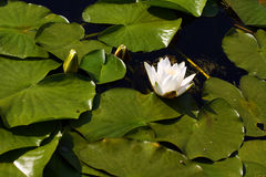 Water lilly. A white water-lily among green leaves in the lake Stock Photos