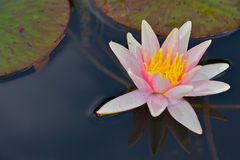 Water Lilly. A Water Lilly in a pond stock images