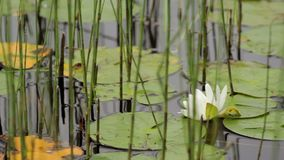 Water lilly stock video