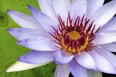 Water Lilly Royalty Free Stock Photography