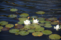 Water lilly Stock Photos
