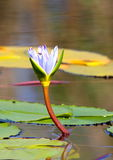 Water Lilly. A single white water lilly pictured on a dam in South Africa royalty free stock photography
