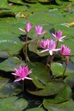Water lilly Royalty Free Stock Photos