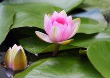Water Lilly. A single pink water lilly pictured on a dam in South Africa stock images