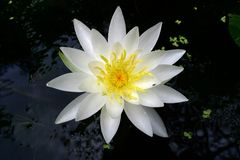 Water lilly. White water lilly in pond Royalty Free Stock Image