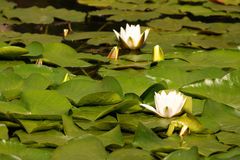 Water lilly 2. White water-lilys among green leaves in the lake Royalty Free Stock Photography