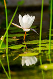 Water lilly. Beautiful white water lilly in the lake royalty free stock photos