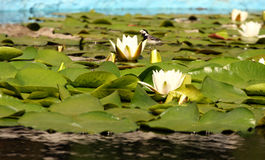 Water lilly 3. White water-lilys among green leaves in the lake Royalty Free Stock Images