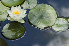 Water Lilly. A water lilly in full bloom with copy space to the left stock images