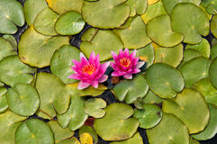 Free Water Lilly Royalty Free Stock Photography - 32819697