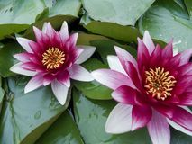 Water lilly. In lake Royalty Free Stock Images