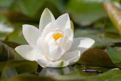 Water lilly. Close up of a white water lilly stock image