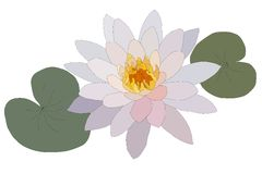 Water lilly. Vector Water lilly nymphaea - Irene Stock Photography
