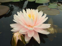 Water lilly Stock Foto