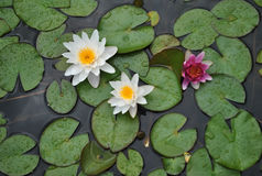 Water lilly Royalty-vrije Stock Foto