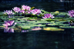 Water lilly Stock Afbeelding