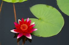 Water lilly. A water lilly royalty free stock photo