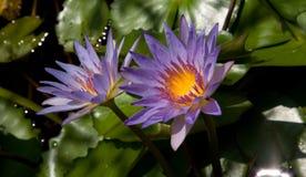 Water lilly Royalty-vrije Stock Afbeeldingen